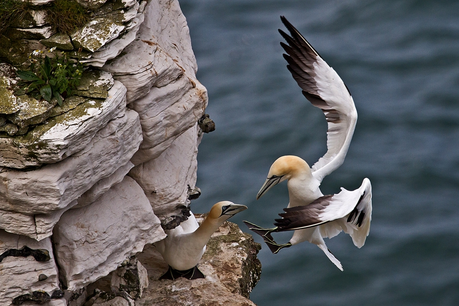 Gannet coming home