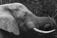 Tembe Elephant Eating